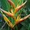 Thumbnail: Heliconia psittacorum hyb. 'Alan Carle'