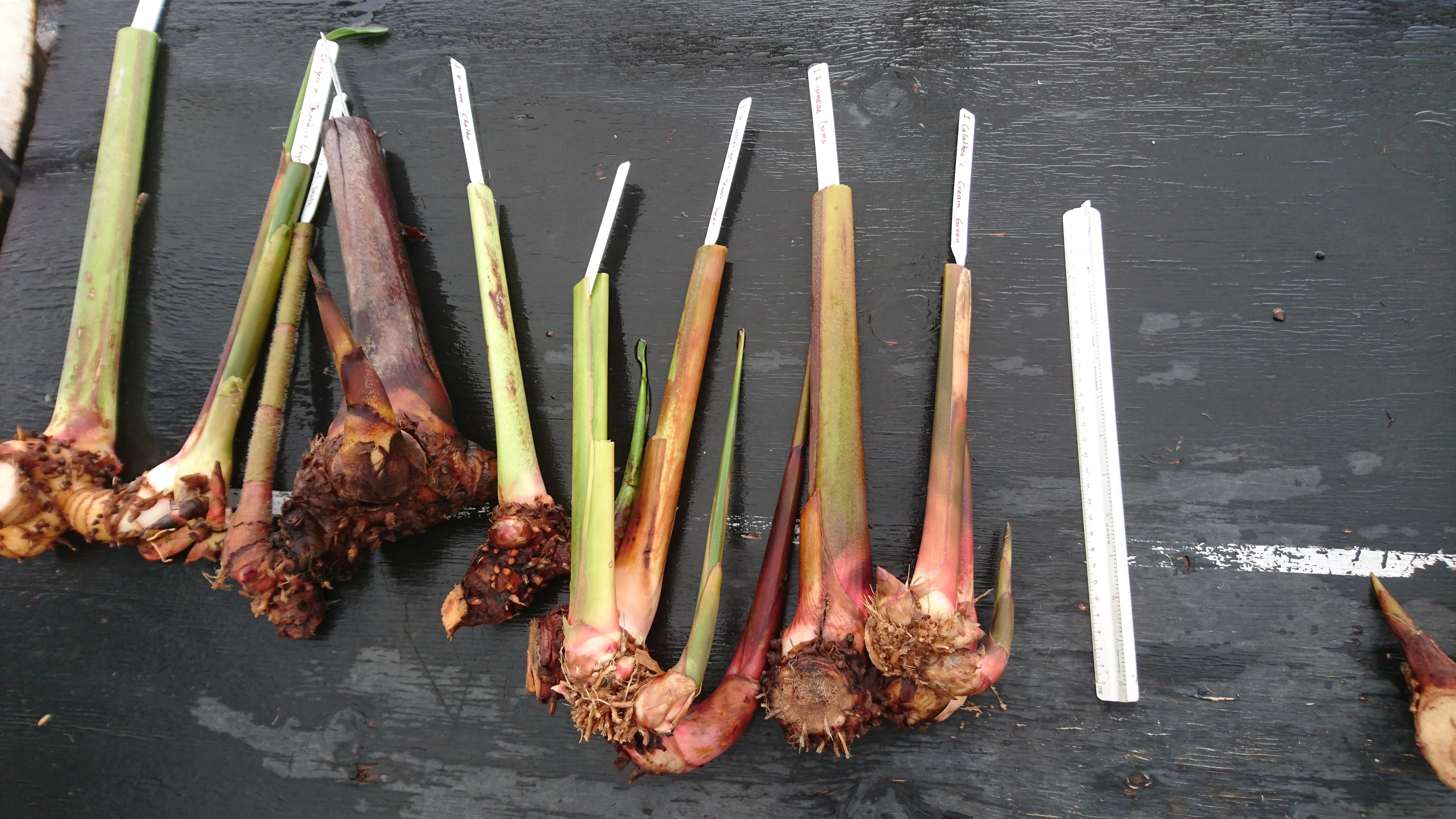 Heliconia Rhizomes