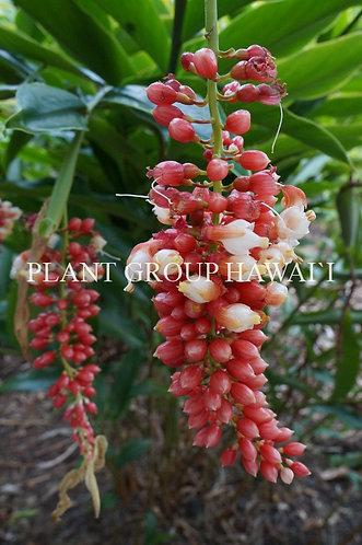Pleuranthodium sp. 'Pink Pearls'