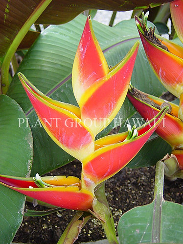 Heliconia stricta 'Sharonii'