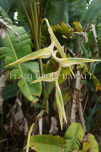 Heliconia griggsiana 'Blue Moon'
