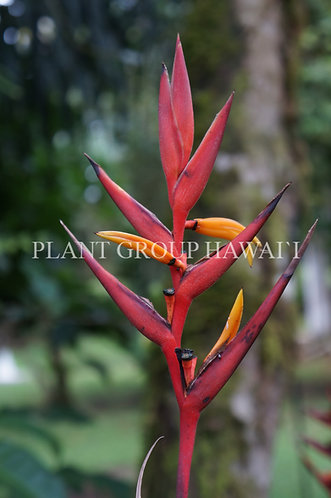 Heliconia osaensis