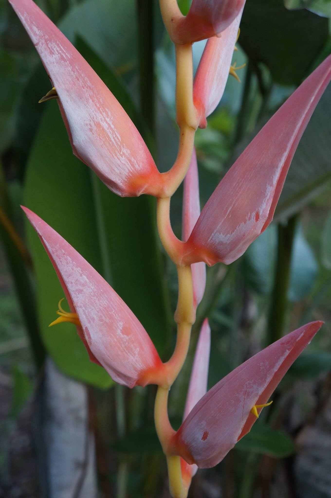 The Perfect Heliconia