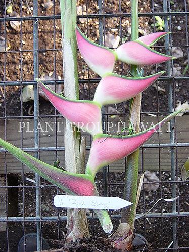 Heliconia orthotricha 'Pink Shag'