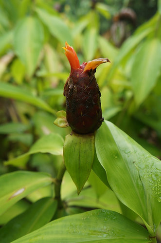 Costus sp. 'Hot Lips'