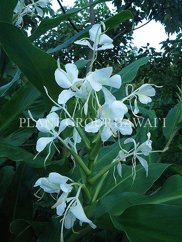 Hedychium sp. 'White Clover'
