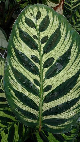 Calathea makoyana 'Peacock Plant'
