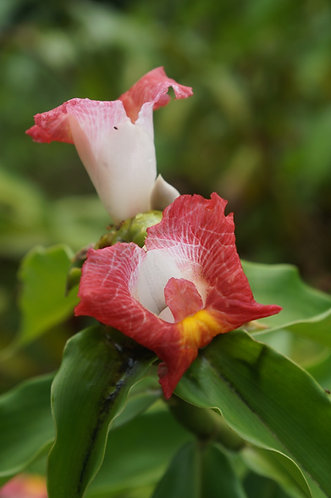 Costus lacerus 'Cotton'