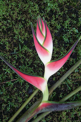 Heliconia orthotricha 'Imperial Two'