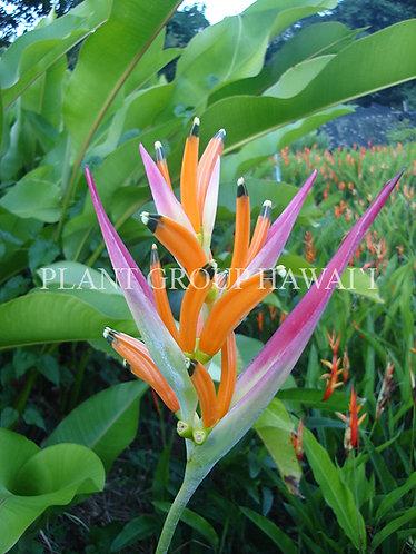 Heliconia psittacorum 'Sassy'