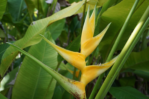 Heliconia caribaea x bihai 'Mellow Yellow'