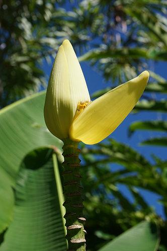 Musa siamensis 'Thai Gold'