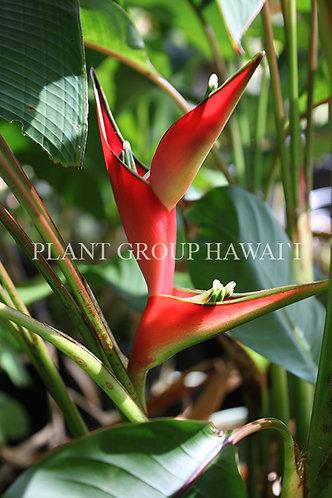 Heliconia stricta 'Dwarf Jamaican'