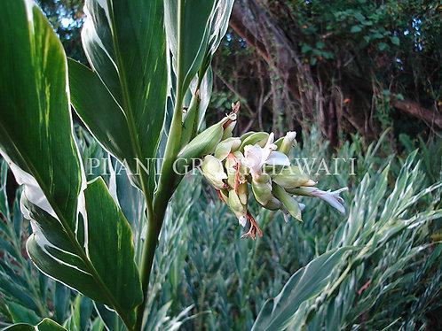 Alpinia vittata 'Variegated'