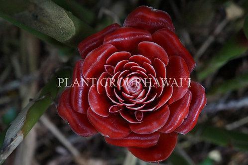 Etlingera corneri 'Siam Rose'