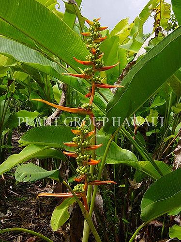 Heliconia pseudoaemygdiana 'Birdiana'
