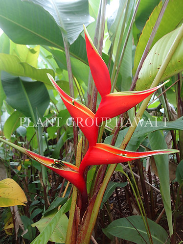 Heliconia stricta 'Gustavo Red'