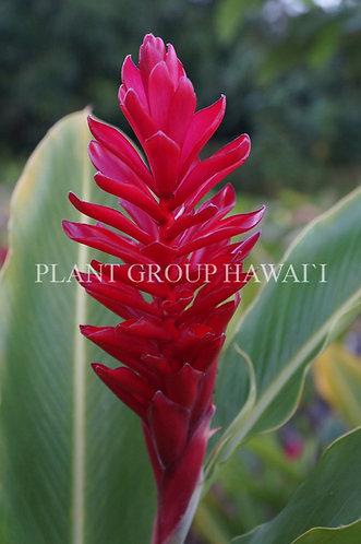 Alpinia purpurata 'Red Ginger'