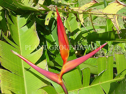 Heliconia plagiotropa 'Red Tropic'