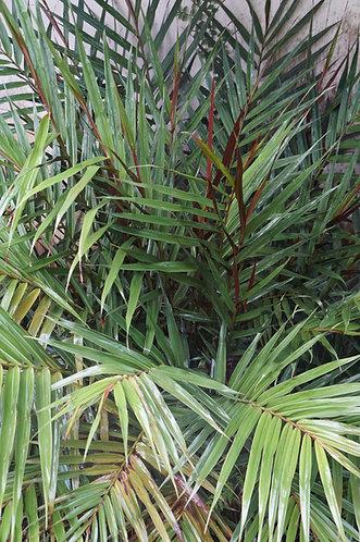 Alpinia luteocarpa 'Bamboo Ginger'