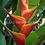 Thumbnail: Heliconia caribaea x bihai 'Jacquinii'
