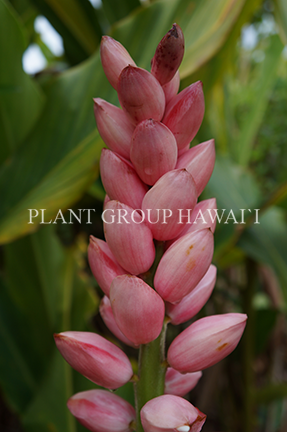 Alpinia malaccensis 'Giant Pink Shell'