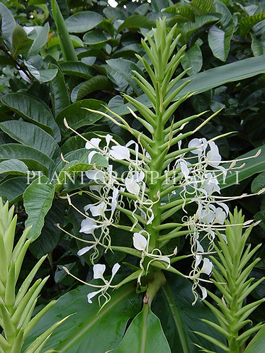 Hedychium stenopetalum 'Giant White Thai'