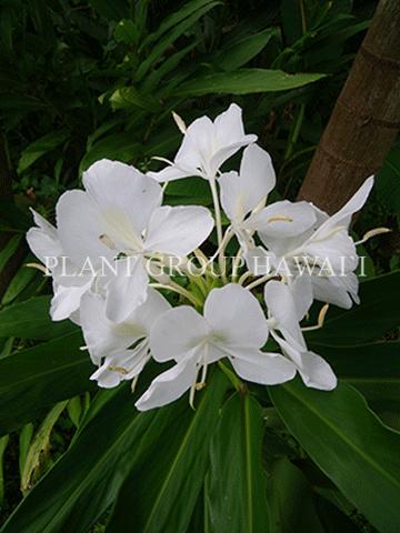 Hedychium coronarium 'White Ginger'