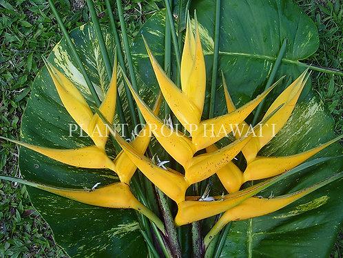 Heliconia caribaea x bihai 'Yellow Dancer'