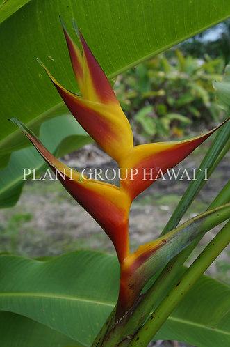 Heliconia bihai 'Kamehameha Two'