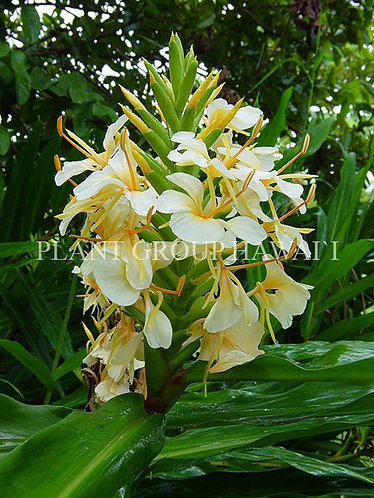 Hedychium hyb. 'Big Betty'