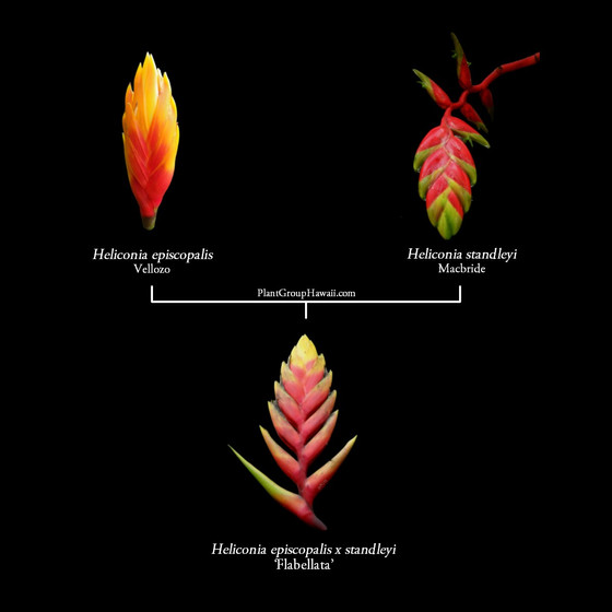 7 Heliconia Hybrids: Parentage Guide