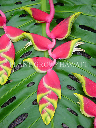 Heliconia rostrata 'Ten Day'