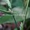 Thumbnail: Stromanthe sp. 'Belieze Green'