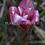 Thumbnail: Etlingera venusta 'Malay Rose'