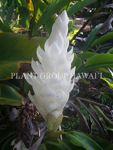 Alpinia purpurata 'Madikeri White'