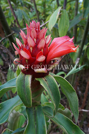 Costus sp. 'Red Feathers'