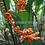 Thumbnail: Stromanthe leutea 'Orange Beads'