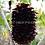 Thumbnail: Tapeinochilos novaebudaensis