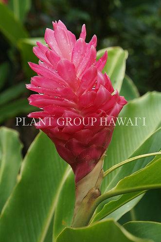 Alpinia purpurata 'Kimi Ginger'