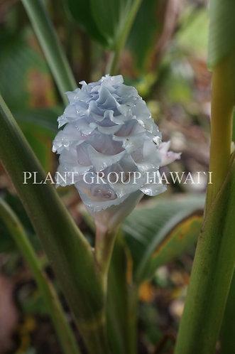 Calathea burle-marxii 'Blue Ice'