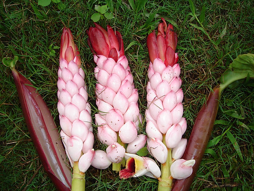 Alpinia sp. 'Red Top'