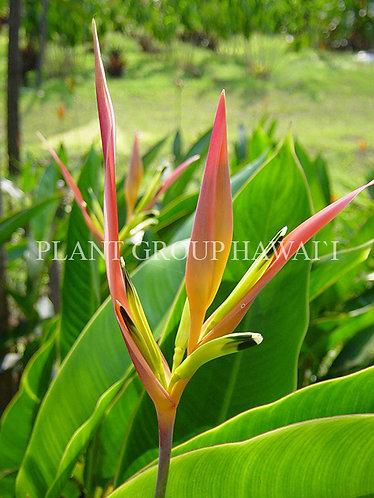 Heliconia accuminata x psitt 'St. Vincent Pink'