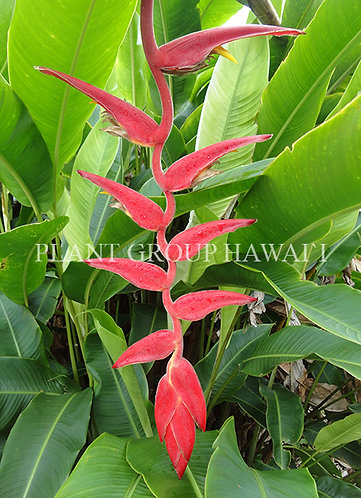 Heliconia lawrenciana 'Red Velvet'