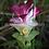 Thumbnail: Curcuma sp. 'Giant Vietnam'