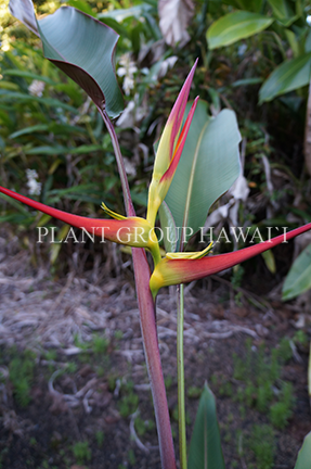 Heliconia latispatha 'Red and Yellow'