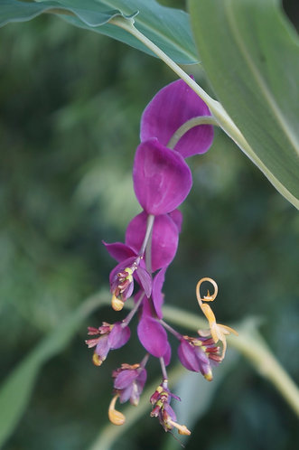 Globba sp. 'Purple Pakayaw'