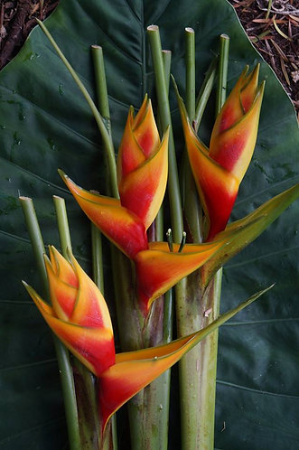 Heliconia stricta hyb. 'Heart of Gold'