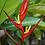 Thumbnail: Heliconia farinosa 'Rio'