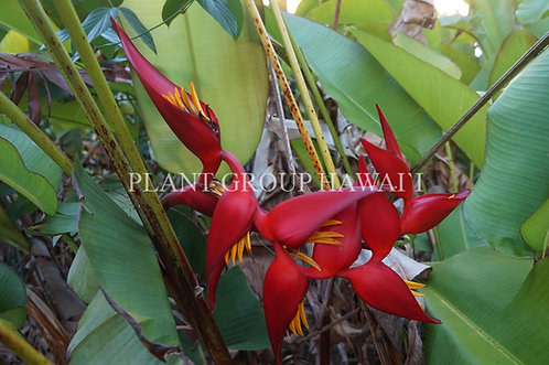 Heliconia bourgeana x collinsiana 'Pedro Ortiz'